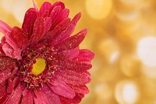 Free Fake Pink Flower With Gold Background Royalty Free Stock Photo - 16829045