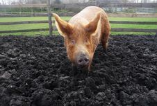 Free Big Muddy Pig Royalty Free Stock Photo - 16829185