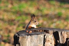 Free Red Squirrel. Royalty Free Stock Image - 16829226