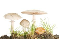 Free Three Wild Mushrooms Royalty Free Stock Photography - 16829517