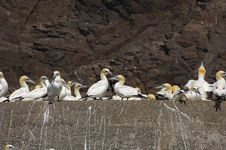 Free Gannets In Line Stock Images - 16829654