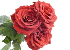 Three Red Roses With Drops Stock Images