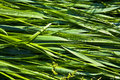 Free Green Wheat Grass With Dewdrops Stock Image - 16838011