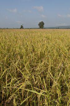 Free Rice Fields Stock Photo - 16830270