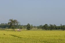 Free Ricefield Royalty Free Stock Images - 16830289