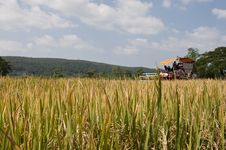 Free Rice Harvest Stock Images - 16830314