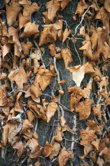 Withered Ivy Leaves Stock Photography
