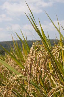 Free Full Rice Grains Royalty Free Stock Photos - 16830368