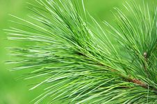 Free Green Needles Royalty Free Stock Image - 16831566