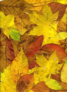 Free Beautiful Autumn Leaves Stock Images - 16831824