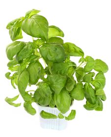 Fresh Green Basil Plant Royalty Free Stock Photos