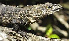 Free Iguana Royalty Free Stock Image - 16832066