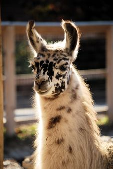 Free Baby Llama Stock Images - 16832344