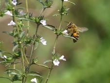 Free Bee Stock Photo - 16832430