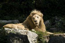Free Lion Stock Image - 16832561