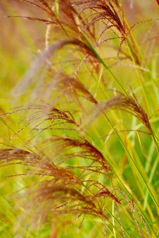 Free Bulrush Royalty Free Stock Photo - 16833205