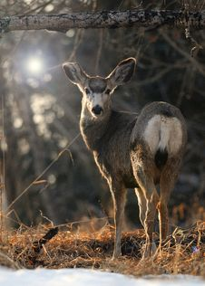 Free Solitary Mule Deer Standing Stock Photography - 16834202