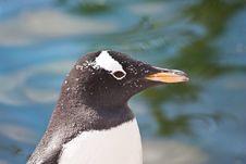 Free Gentoo Penguin Royalty Free Stock Photography - 16834797