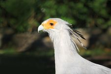 Free Pretty Secretary Bird Stock Photo - 16836480
