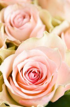 Free Beautiful Roses On White Stock Photos - 16838273