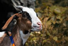 Free The Close Up Of A Little Goat Stock Photo - 16838790
