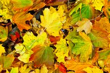 Free Background Group Autumn Orange Leaves. Outdoor Stock Image - 16839661