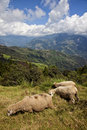 Free Three Sheeps On The Mountain Royalty Free Stock Photo - 16842515
