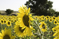 Free Lots Of Sunflowers On A Wide Field Stock Photo - 16844420