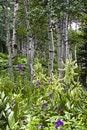 Free Aspen Scene Stock Images - 16847594