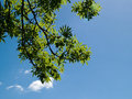 Free Green Tree Branch With Clear Sky Background Stock Image - 16849231