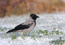 Free Hooded Crow Stock Photography - 16840122