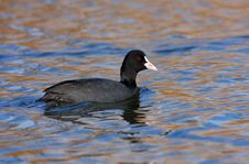 Free Coot Swimming Stock Photography - 16840162