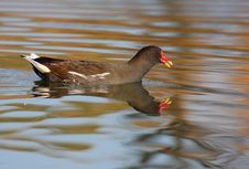 Free Moorhen Swimming Stock Photography - 16840172