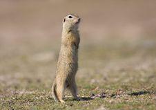 Free European Ground Squirrel Stock Photo - 16840220