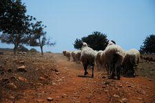 Free Sheep Royalty Free Stock Photos - 16840298