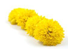 Free Yellow Chrysanthemum Stock Photography - 16840592