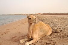Free Small Camel On The Beach Stock Image - 16841141
