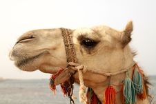 Free Arabian Camel Royalty Free Stock Photography - 16841157