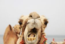 Free Portrait Of A Camel Royalty Free Stock Photos - 16841248