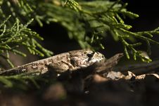 Free Sand Lizard 1 Stock Photo - 16841460