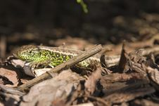 Free Sand Lizard 3 Stock Photography - 16841502