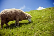 Free A Sheep On A Beautiful Mountain Stock Photography - 16841812