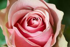 Free Rose Closeup Stock Photo - 16842180