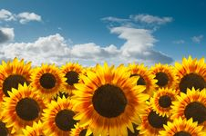 Free Sunflower Field Royalty Free Stock Photo - 16842295