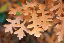 Autumn Oak Leaves Stock Images