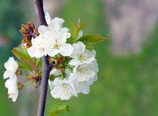 Free Cherry Blossom Stock Photos - 16843973