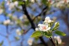 Pear Blossom Royalty Free Stock Photography