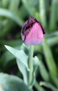 Free Morning Purple Tulip Royalty Free Stock Photos - 16844018