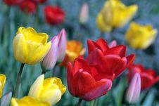 Free Colorful Tulips Stock Photo - 16844030