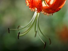 Free Tiger Lily Royalty Free Stock Image - 16844136